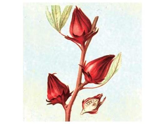 Thai Red Roselle illluminated beauty