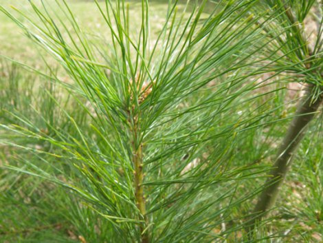 How To Make Fresh Pine Needle Tea