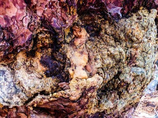 conifer resins-mountain rose blog