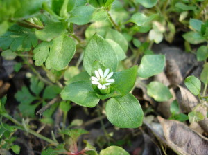 Chickweed Leaves Can Be Found Under Snow