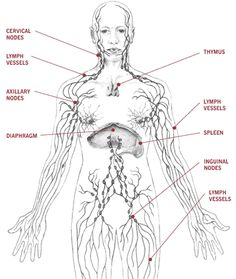 LYMPHATIC SYSTEM MAP -TORSO